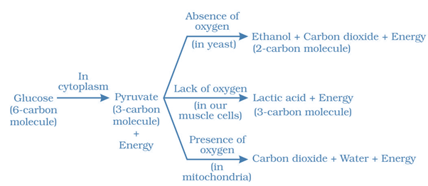 NCERT Solutions for Class 10 Science Chapter 6 Life Processes image 1 intext question 2