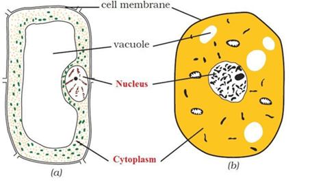 NCERT Solutions for Class 8 Science Chapter 8 Cell Structure and Functions image 2