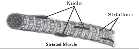 NCERT Solutions for Class 9 Science Chapter 6 Tissues image 2